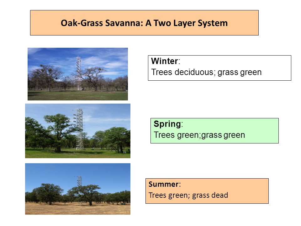 Oak-Grass Savanna: A Two Layer System Summer: Trees green; grass dead Spring: Trees green;grass green Winter: Trees deciduous; grass green