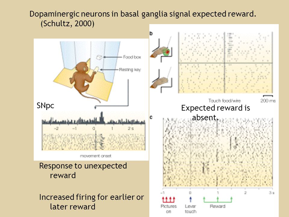 Dopaminergic neurons in basal ganglia signal expected reward.