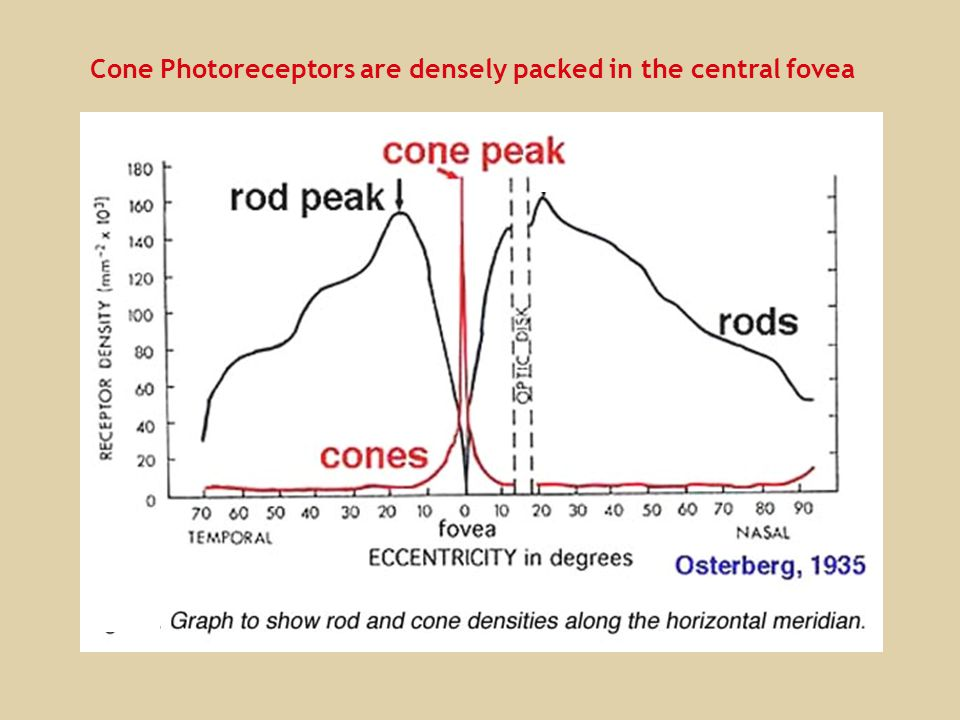 Cone Photoreceptors are densely packed in the central fovea