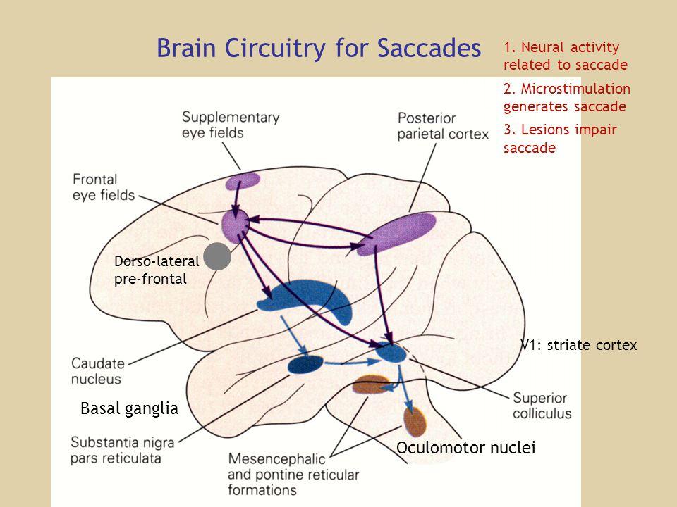 Brain Circuitry for Saccades Oculomotor nuclei V1: striate cortex Basal ganglia 1.