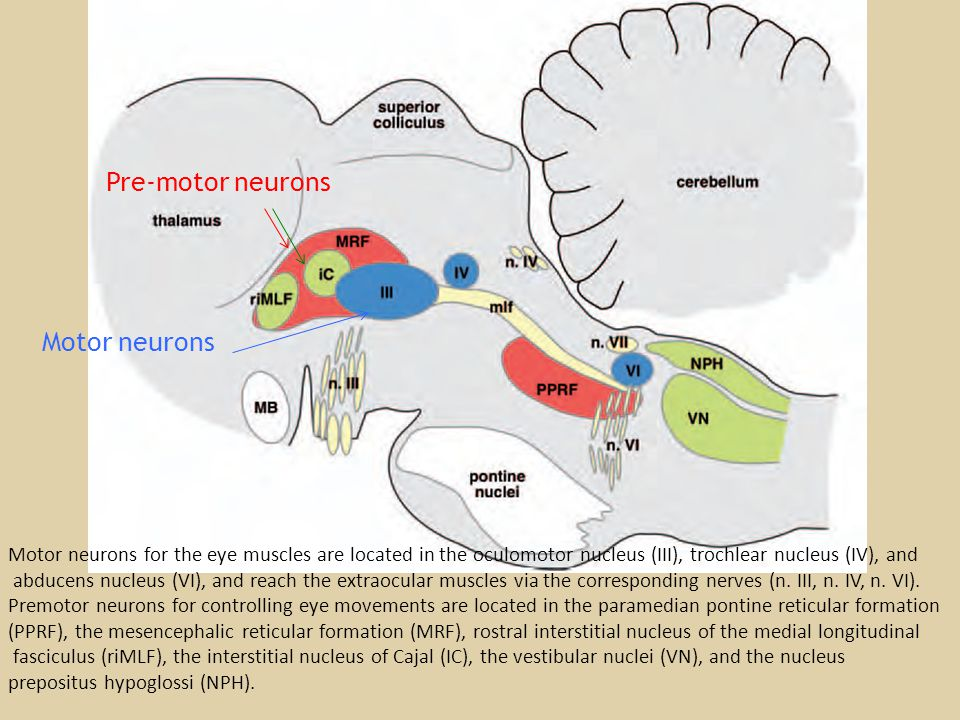 Motor neurons for the eye muscles are located in the oculomotor nucleus (III), trochlear nucleus (IV), and abducens nucleus (VI), and reach the extraocular muscles via the corresponding nerves (n.