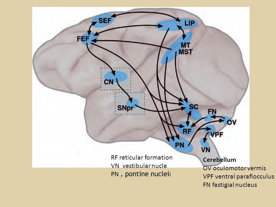 RF reticular formation VN vestibular nucle PN, pontine nuclei i Cerebellum OV oculomotor vermis VPF ventral paraflocculus FN fastigial nucleus
