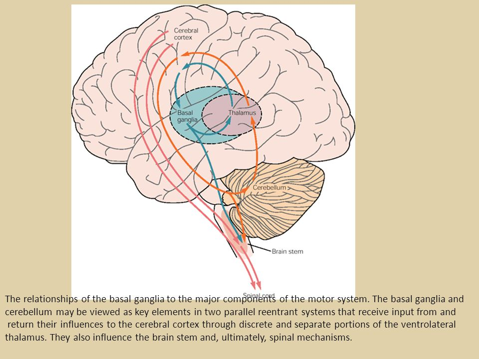 The four principal nuclei of the basal ganglia are (1) the striatum, (2) the globus pallidus (or pallidum), (3) the substantia nigra (consisting of the pars reticulata and pars compacta), and (4) the subthalamic nucleus.