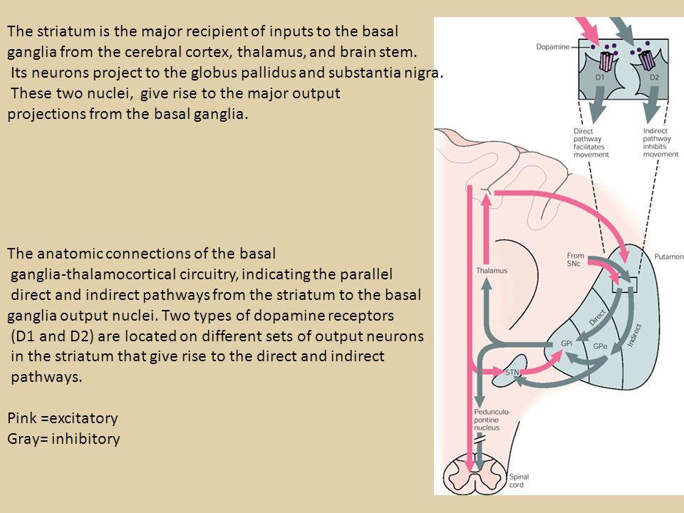 The frontal lobe targets of the basal ganglia-thalamocortical circuits.