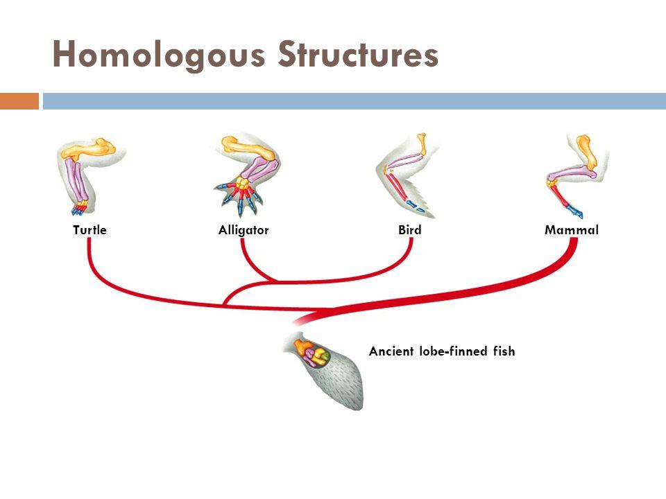 Homologous Structures TurtleAlligatorBirdMammal Ancient lobe-finned fish