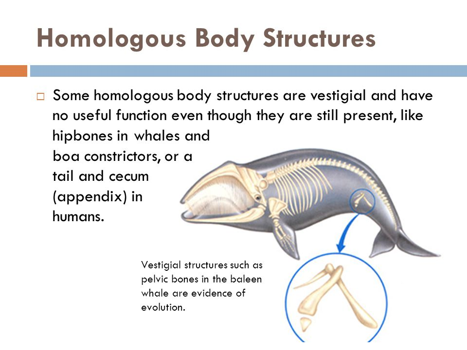 Homologous Body Structures  Some homologous body structures are vestigial and have no useful function even though they are still present, like hipbon