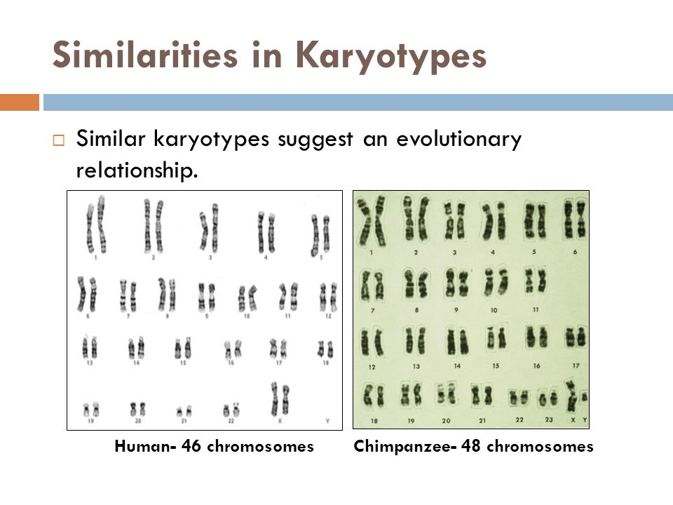 Similarities in Karyotypes  Similar karyotypes suggest an evolutionary relationship. Human- 46 chromosomes Chimpanzee- 48 chromosomes