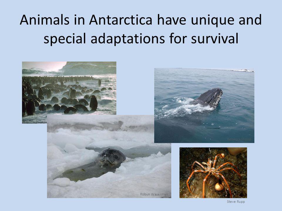 How do Weddell seals get around in the dark of winter under the ice.