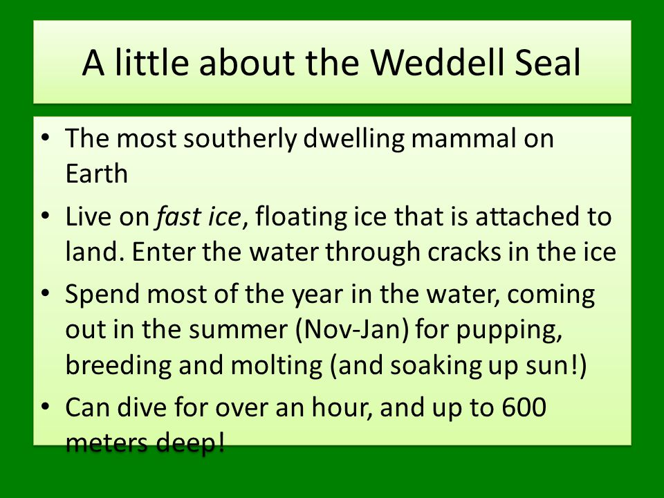 A little about the Weddell Seal The most southerly dwelling mammal on Earth Live on fast ice, floating ice that is attached to land.