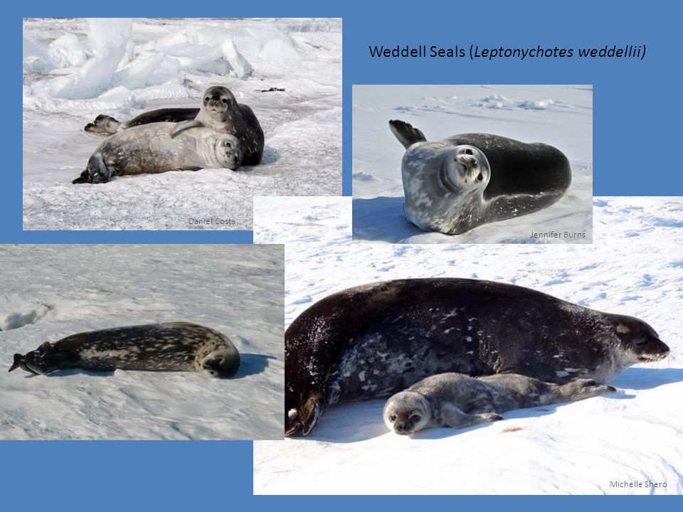 Weddell Seals (Leptonychotes weddellii) Daniel Costa Michelle Shero Jennifer Burns