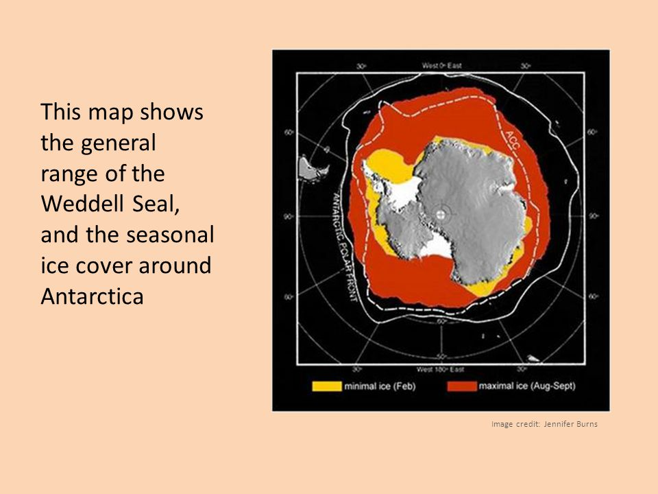 This map shows the general range of the Weddell Seal, and the seasonal ice cover around Antarctica Image credit: Jennifer Burns