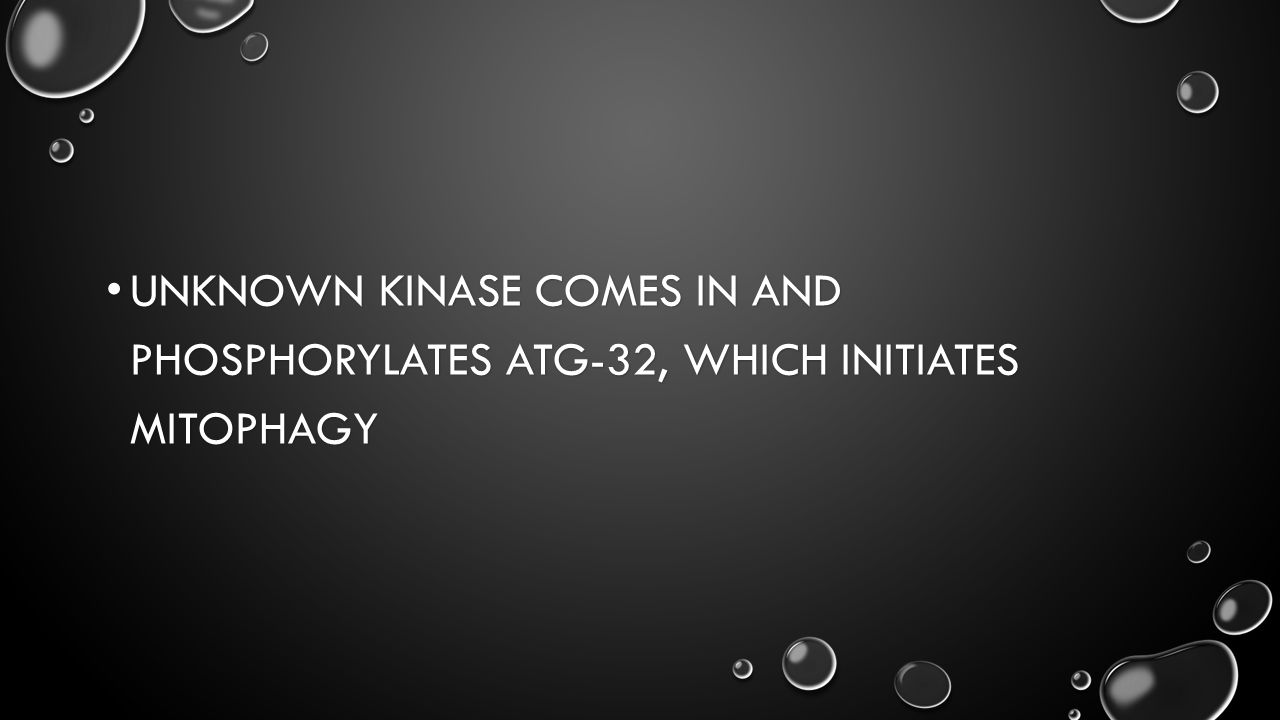 UNKNOWN KINASE COMES IN AND PHOSPHORYLATES ATG-32, WHICH INITIATES MITOPHAGY UNKNOWN KINASE COMES IN AND PHOSPHORYLATES ATG-32, WHICH INITIATES MITOPHAGY