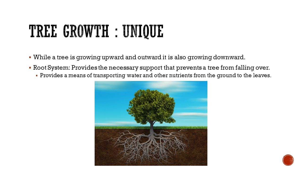  While a tree is growing upward and outward it is also growing downward.