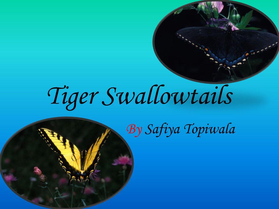 Tiger Swallowtails By Safiya Topiwala