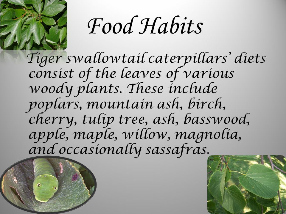 Food Habits Tiger swallowtail caterpillars' diets consist of the leaves of various woody plants.