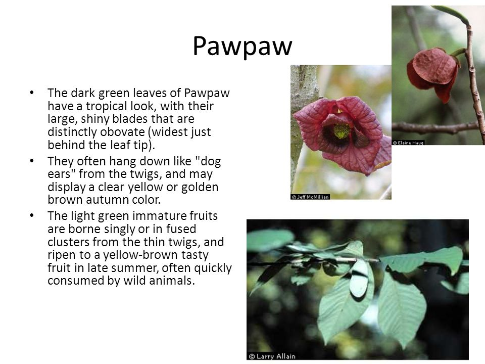 Pawpaw The dark green leaves of Pawpaw have a tropical look, with their large, shiny blades that are distinctly obovate (widest just behind the leaf tip).