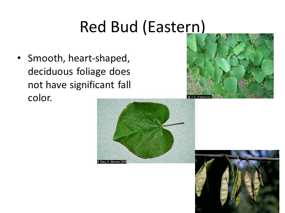 Red Bud (Eastern) Smooth, heart-shaped, deciduous foliage does not have significant fall color.