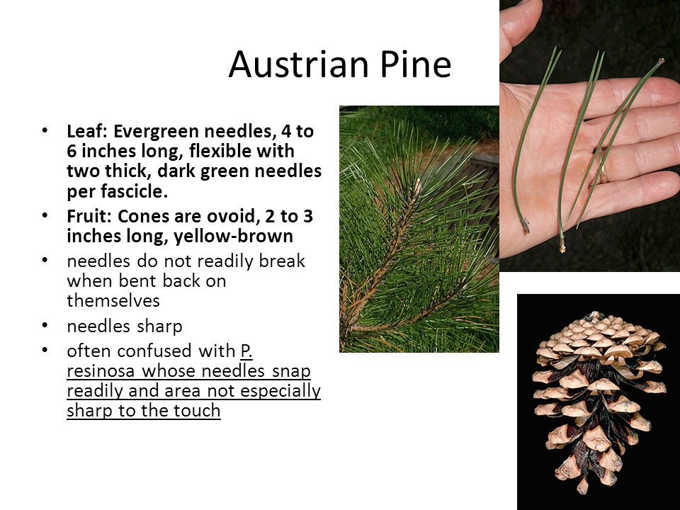 Austrian Pine Leaf: Evergreen needles, 4 to 6 inches long, flexible with two thick, dark green needles per fascicle.
