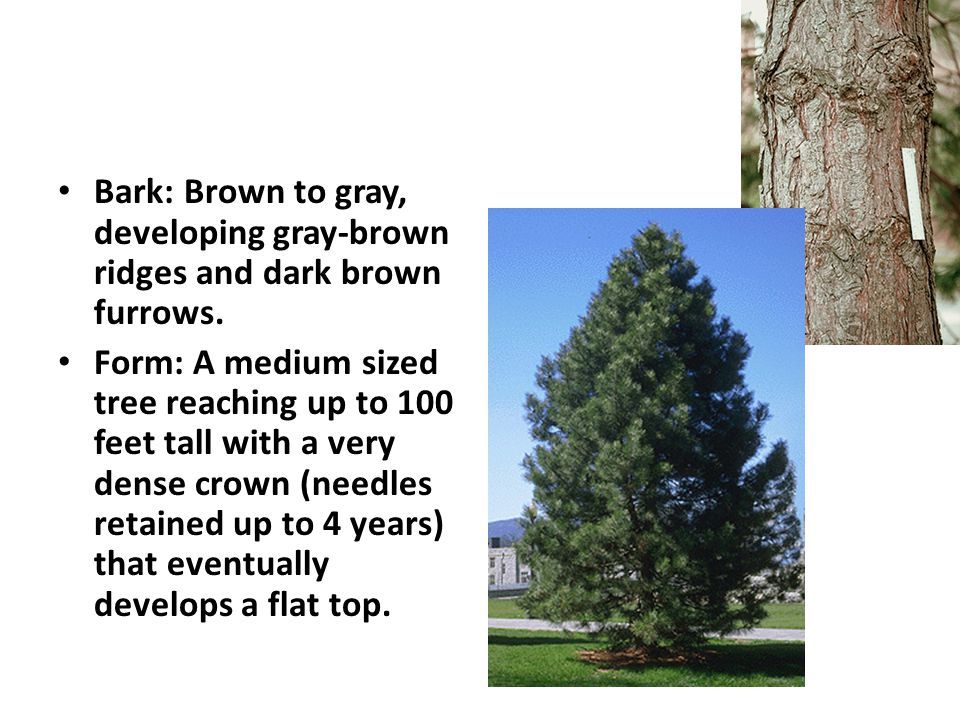 Bark: Brown to gray, developing gray-brown ridges and dark brown furrows.