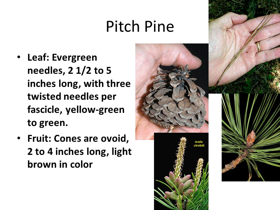 Pitch Pine Leaf: Evergreen needles, 2 1/2 to 5 inches long, with three twisted needles per fascicle, yellow-green to green.
