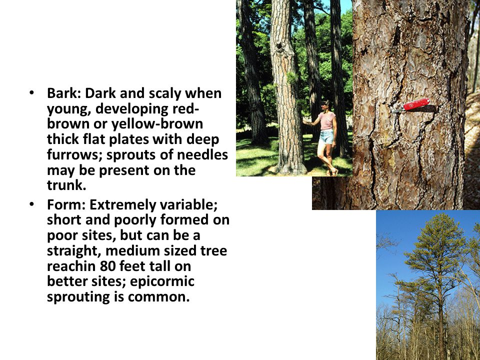Red Pine Red Pine has two medium green to dark green needles per bundle.