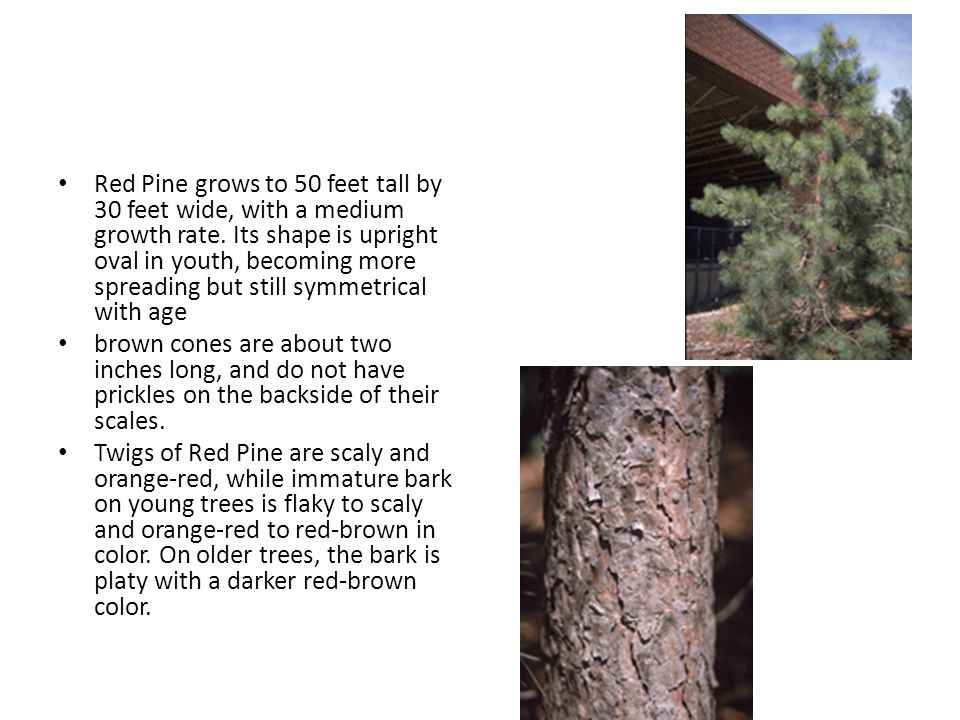 Red Pine grows to 50 feet tall by 30 feet wide, with a medium growth rate.