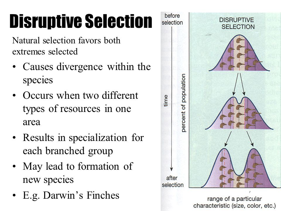 Disruptive Selection Natural selection favors both extremes selected Causes divergence within the species Occurs when two different types of resources in one area Results in specialization for each branched group May lead to formation of new species E.g.