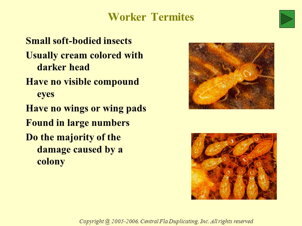 Worker Termites Small soft-bodied insects Usually cream colored with darker head Have no visible compound eyes Have no wings or wing pads Found in large numbers Do the majority of the damage caused by a colony Copyright @ 2005-2006, Central Fla Duplicating, Inc.