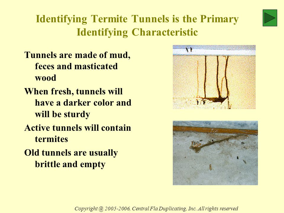 Identifying Termite Tunnels is the Primary Identifying Characteristic Tunnels are made of mud, feces and masticated wood When fresh, tunnels will have a darker color and will be sturdy Active tunnels will contain termites Old tunnels are usually brittle and empty Copyright @ 2005-2006, Central Fla Duplicating, Inc.