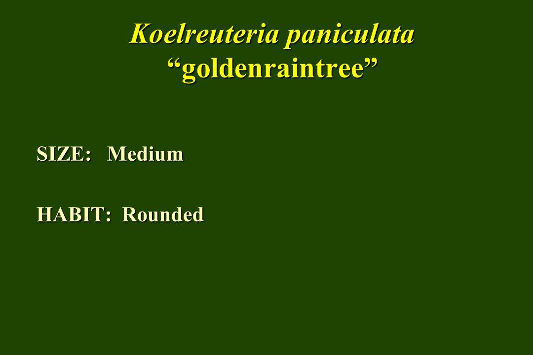 Koelreuteria paniculata goldenraintree SIZE: Medium HABIT: Rounded