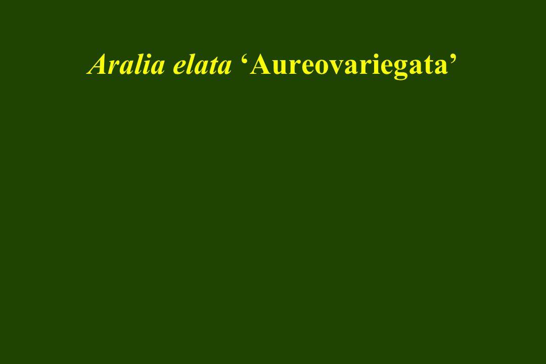 Aralia elata 'Aureovariegata'
