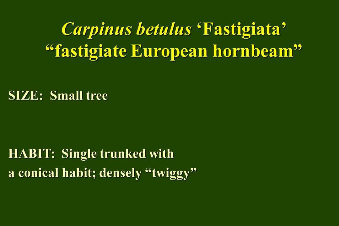 Carpinus betulus 'Fastigiata' fastigiate European hornbeam SIZE: Small tree HABIT: Single trunked with a conical habit; densely twiggy