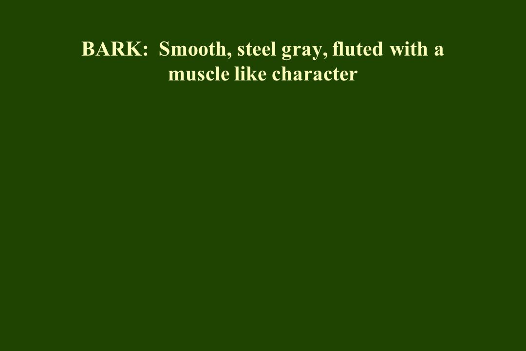 BARK: Smooth, steel gray, fluted with a muscle like character