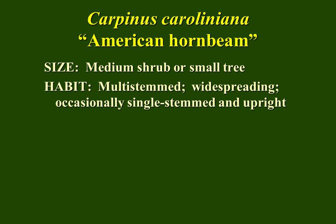 Carpinus caroliniana American hornbeam SIZE: Medium shrub or small tree HABIT: Multistemmed; widespreading; occasionally single-stemmed and upright