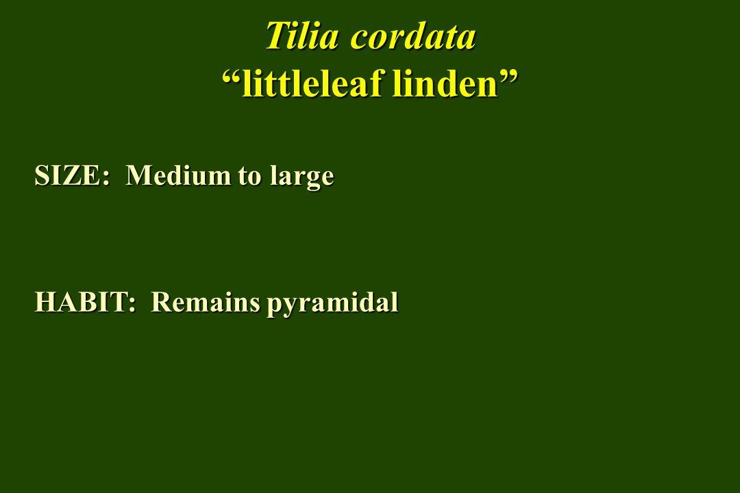 Tilia cordata littleleaf linden SIZE: Medium to large HABIT: Remains pyramidal