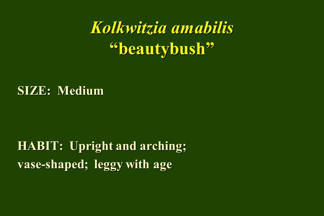 Kolkwitzia amabilis beautybush SIZE: Medium HABIT: Upright and arching; vase-shaped; leggy with age
