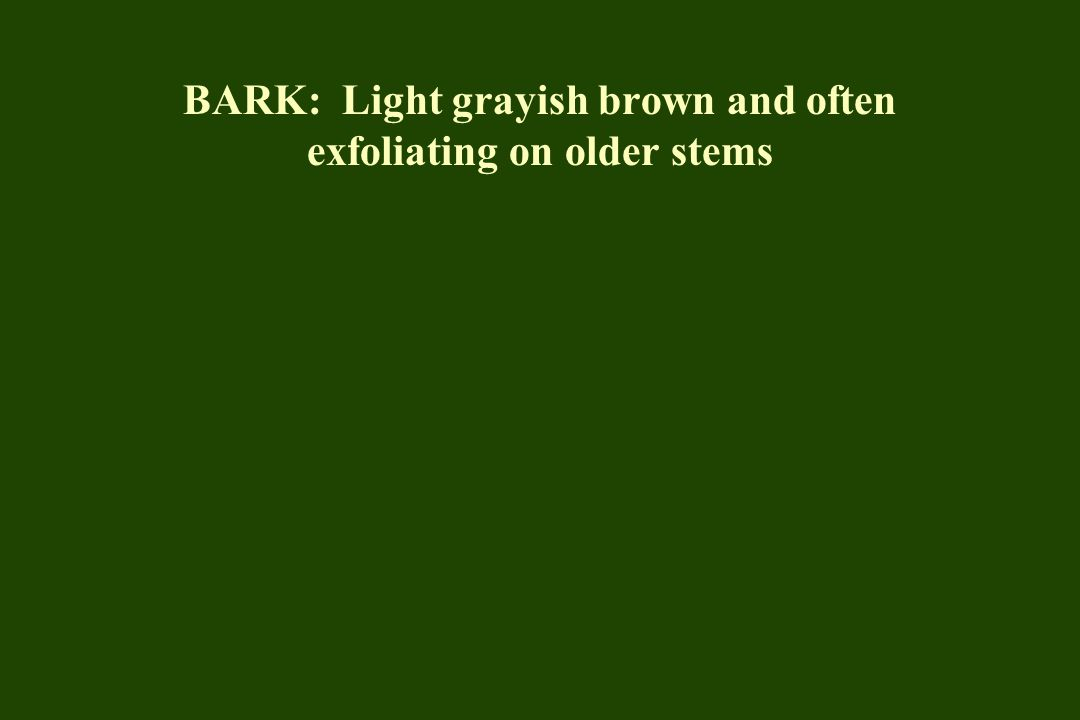 BARK: Light grayish brown and often exfoliating on older stems