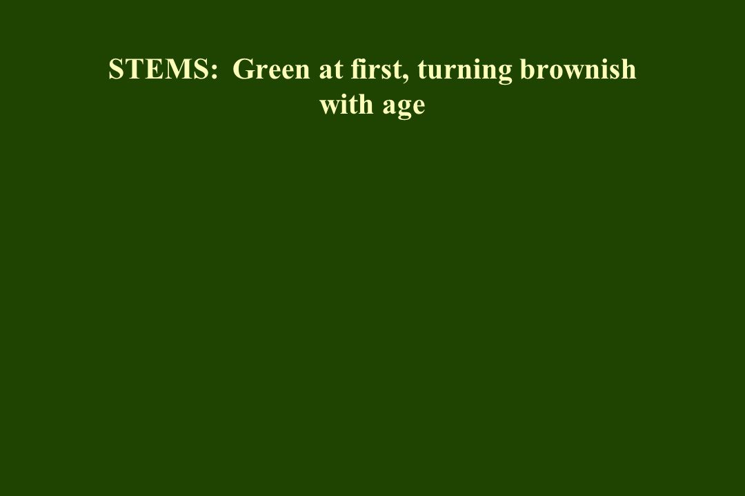 STEMS: Green at first, turning brownish with age