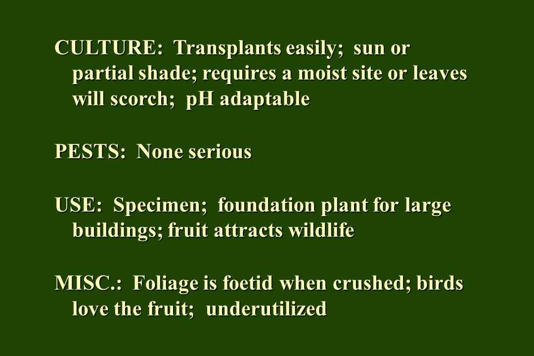 CULTURE: Transplants easily; sun or partial shade; requires a moist site or leaves will scorch; pH adaptable PESTS: None serious USE: Specimen; foundation plant for large buildings; fruit attracts wildlife MISC.: Foliage is foetid when crushed; birds love the fruit; underutilized