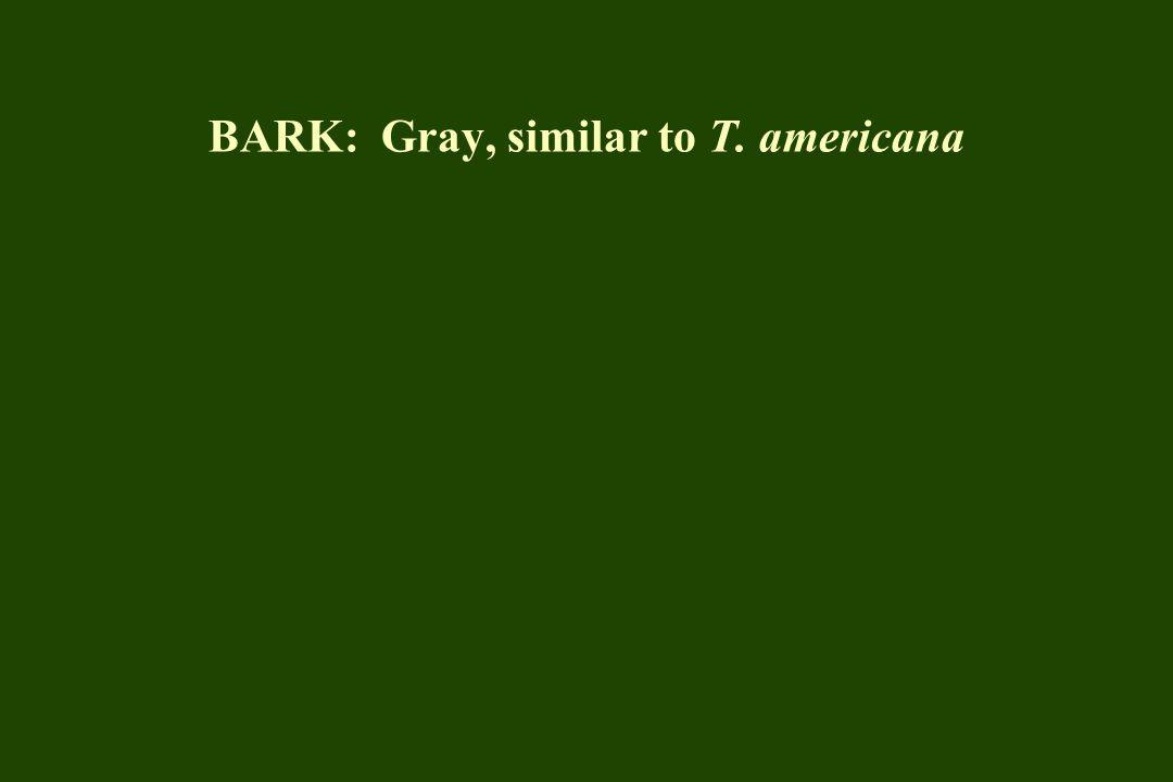 BARK: Gray, similar to T. americana