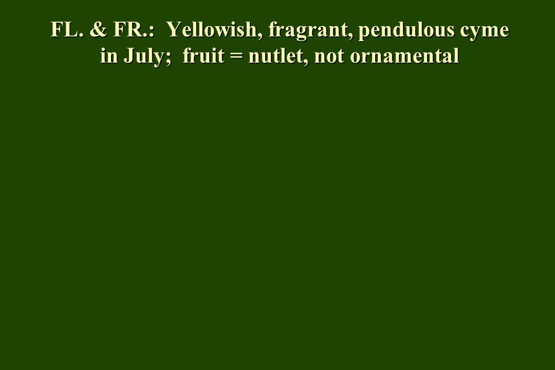 FL. & FR.: Yellowish, fragrant, pendulous cyme in July; fruit = nutlet, not ornamental