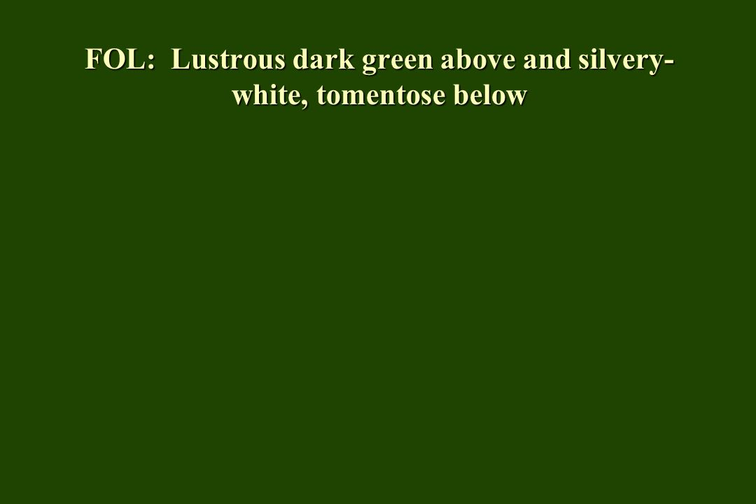 FOL: Lustrous dark green above and silvery- white, tomentose below