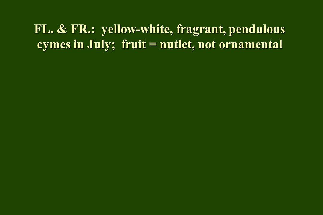 FL. & FR.: yellow-white, fragrant, pendulous cymes in July; fruit = nutlet, not ornamental