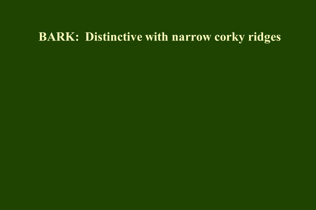 BARK: Distinctive with narrow corky ridges