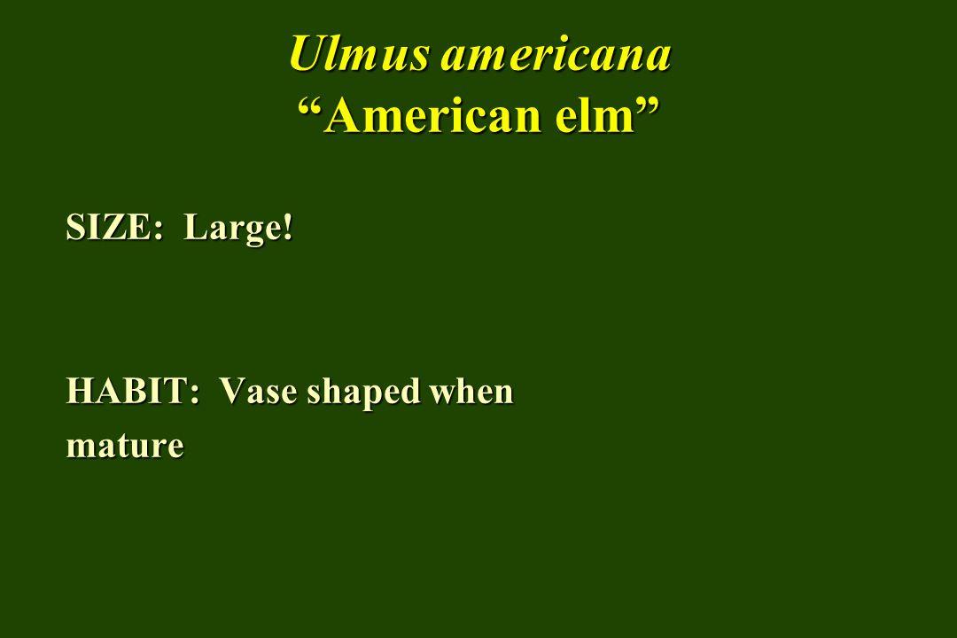 Ulmus americana American elm SIZE: Large! HABIT: Vase shaped when mature