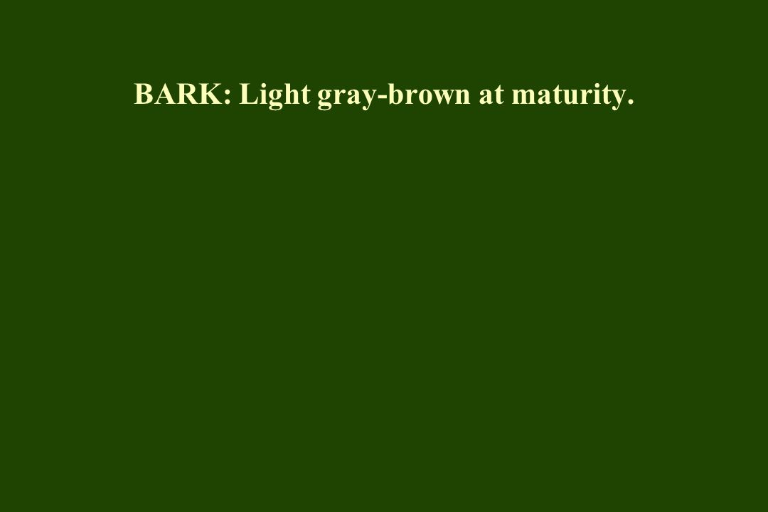 FOL: Glossy, dark green in summer; no fall color; holds leaves late in fall