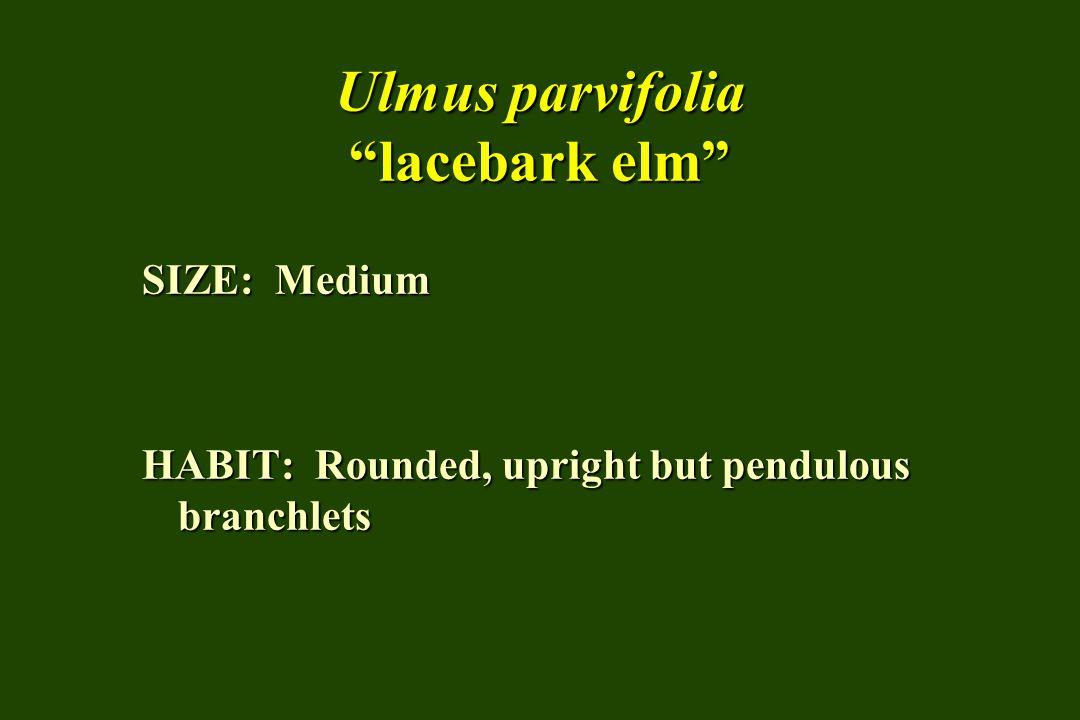 Ulmus parvifolia lacebark elm SIZE: Medium HABIT: Rounded, upright but pendulous branchlets