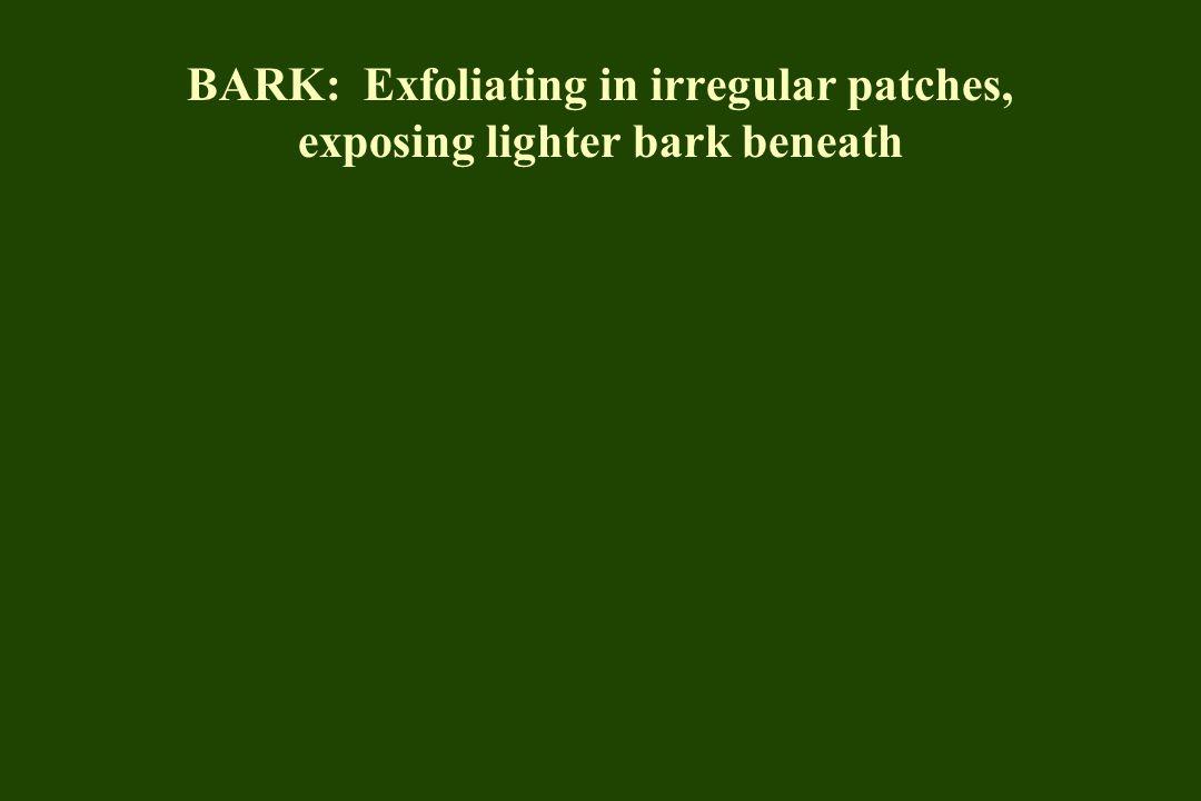 BARK: Exfoliating in irregular patches, exposing lighter bark beneath