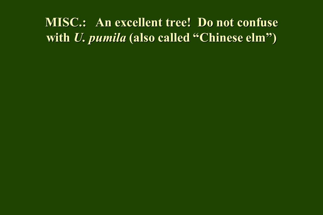 MISC.: An excellent tree! Do not confuse with U. pumila (also called Chinese elm )
