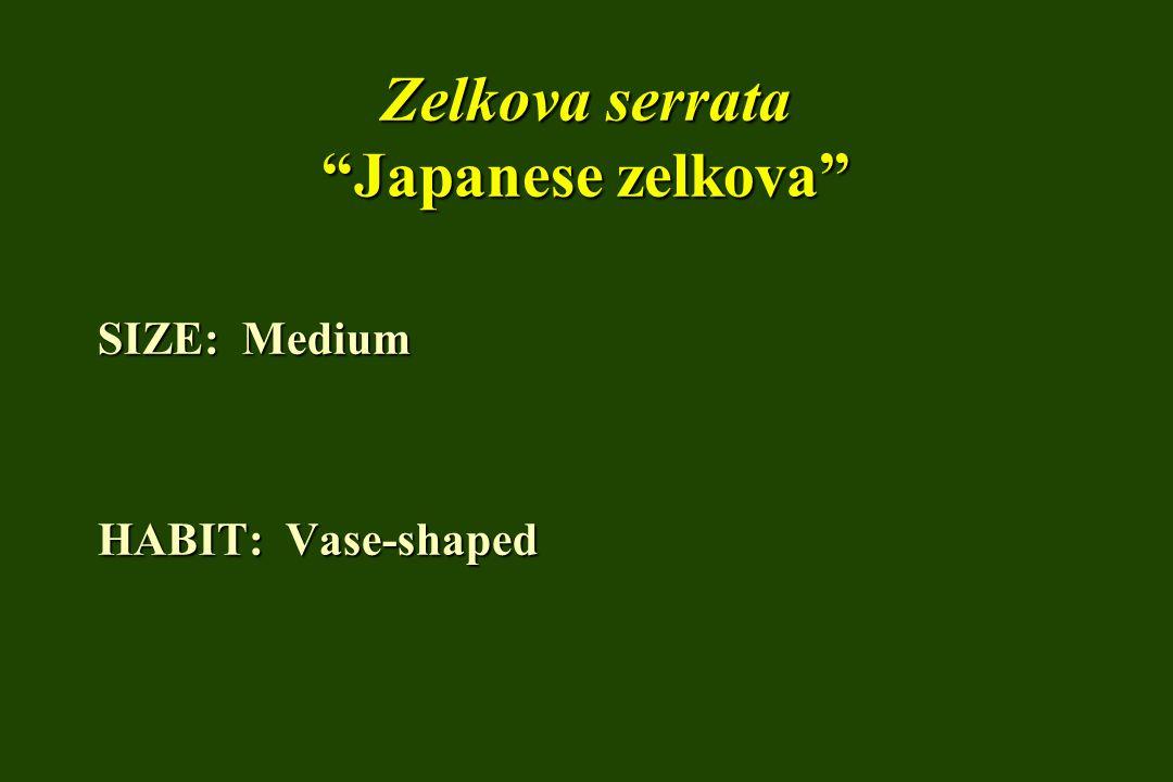 Zelkova serrata Japanese zelkova SIZE: Medium HABIT: Vase-shaped